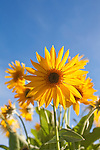 Arrow Leaf Balsamroot wildflower