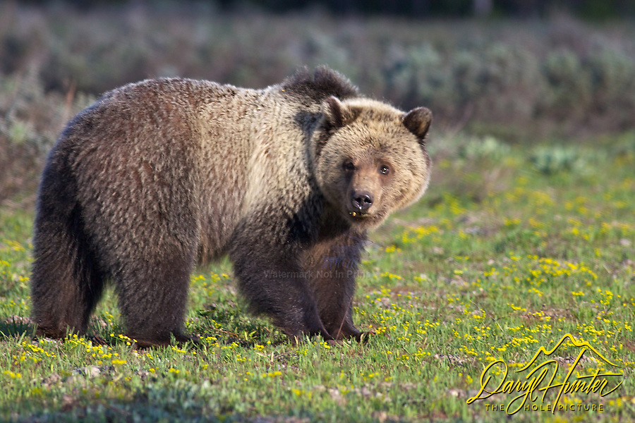 Grizzly  Bear Portrait in Grand Teton National Park
