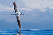 Albatrosses in Flight, New Zealand