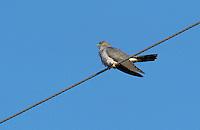 Kuckuck, Männchen, Cucullus canorus, cuckoo