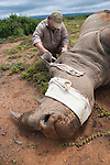 Tranquilised white rhino receives drugs, prior to surgery to repair injury, from Angus Sholto-Douglas, reserve manager, Kwandwe private game reserve, Eastern Cape, South Africa