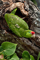 Red-crowned Parrot near its nest.