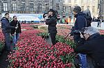 Foto: vidiPhoto<br /> <br /> AMSTERDAM - Vele duizenden belangstellenden uit binnen- en buitenland hadden er zaterdag urenlang wachten voor over om een gratis bos van twintig kersverse Hollandse tulpen te bemachtigen. De zesde Nationale Tulpendag op de Dam in Amsterdam, waarmee het nieuwe snijtulpenseizoen van start gaat, werd bovendien bezocht door tientallen journalisten en cameraploegen uit de hele wereld. De organisatie van de Tulpendag is in handen van Tulpen Promotie Nederland (TPN), een samenwerkingsverband van tulpenbroeiers en -veredelaars. De zogenoemde pluktuin op de Dam met 200.000 tulpen kreeg als thema &lsquo;Dutch Design&rsquo; en is samengesteld door tuinontwerper Floris Hovers. In 2017 zal de tulpenproductie in Nederland voor het eerst de grens van 2 miljard doorbreken. Vorig jaar kwam de productie uit op 1,9 miljard snijtulpen met een exportwaarde van 250 miljoen euro. Tulpen zijn de afgelopen jaren flink in populariteit gestegen. Nederlandse Tulpen worden tegenwoordig in plaats van in potgrond voornamelijk geteeld op water zonder gebruik van chemische middelen. Nationale Tulpendag bestaat sinds 2012. Op de derde zaterdag van januari wordt daarmee ieder jaar de start van een nieuw snijtulpenseizoen gevierd. Tot eind april (ongeveer 100 dagen lang) is de Hollandse tulp wereldwijd verkrijgbaar in meer dan 1.000 verschillende soorten. Foto: Camerateam Rob Verlinden.