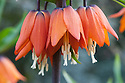 Crown imperial (Fritillaria imperialis 'Rubra'), early April.