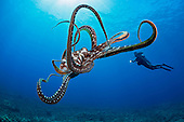 Day Octopus (Octopus cyanea) and diver, Hawaii, USA. MR