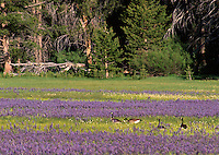&quot;Geese at Sagehen Meadow&quot;- These Canadian Geese were photographed at Sagehen Meadow near Stampede Reservoir, CA.<br />