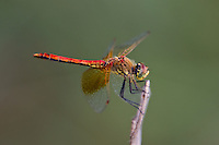 362700010 a wild male band-winged meadowhawk sympetrum semicintum perches on a plant stem near jean blanc canal north of bishop inyo county california united states