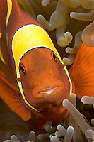 The wide, yellow bands distinguish this Spinecheek Anemonefish, Premnas epigramma, as a distinct species that is found only in the eastern Indian Ocean.  South Button Island, Andaman Islands, Andaman Sea, India