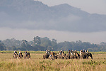 Mahout and Asian Elephants carrying tourists, Elephas maximus, Kaziranga National Park, Assam, India, World Heritage &amp; IUCN Category II Site, tourism, domestic.India....