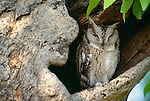 Indian scops owl, India