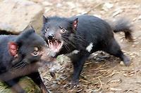 Tasmanian Devil, Mole Creek, Tasmania, Australia