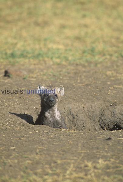 Spotted Hyena pup at its den opening ,Crocuta crocuta,, Masai Mara, Kenya.