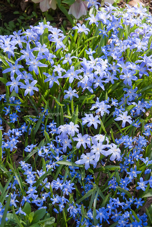 Chionodoxa lucilae spring bulb plant flower stock photography - Flowers planted may complete garden ...