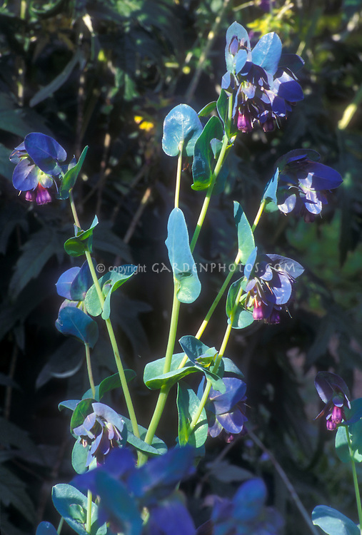Cerinthe major 'Purpurascens' with purple blue flowers