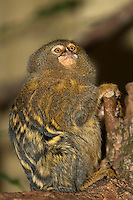 Pygmy Marmoset (Callithrix pygmaea) adult on a branch. Captivity