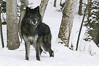Grey Wolf standing in a snowy forest - CA
