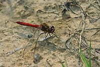 Gemeine Heidelibelle, Männchen, Sympetrum vulgatum, Vagrant Darter, Moustached Darter, male, Sympétrum vulgaire, Segellibellen, Libellulidae, skimmers, perchers