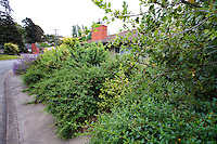 Privacy hedge by sidewalk in California native plant garden, Schino