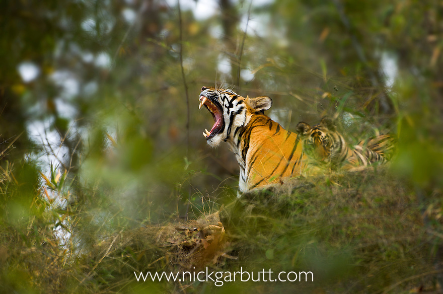Female Bengal Tiger (Panthera tigris tigris) (Lakshmi) yawning and with cub - around 3.5 months old - resting on rock outcrop in bamboo forest. Bandhavgarh National Park, Madhya Pradesh, India.