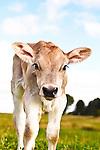 20110923Swiss Calves