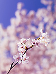 Closeup of blossoming Japanese cherry tree branch over blue sky
