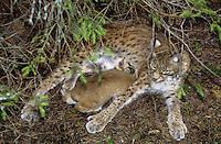 Europäischer Luchs, Muttertier, Weibchen säugt ihr Junges, Jungtier, Eurasischer Luchs, Nordluchs, Nord-Luchs, Felis lynx, Lynx lynx, lynx, Lynx d`Europe