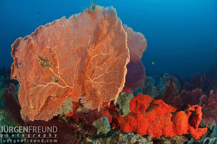Bright orange sponge and massive gorgonian fan corals in the reef.