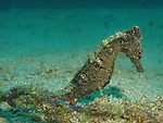 Kenting, Taiwan -- A Zebra-Snout Seahorse clings to a rope.