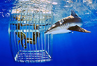 Galapagos shark, Carcharhinus galapagensis, and snorkelers in cage, showing nictitating membrane, offshore, North Shore, Oahu, Hawaii, USA, Pacific Ocean