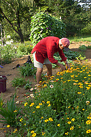 Picking flowers for Yarmouth Community Garden and Meals on Wheels customers, Yarmouth Maine