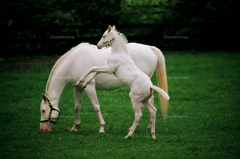 Foal Jumping With Mother a White Foal And His Mother at