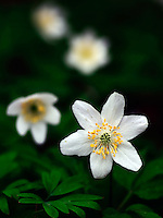 A beautiful blossom of wood Anemone (Anemone nemorosa). Taken in the woods of Valchiusella in Piedmont, Italy, at the beginnig of May
