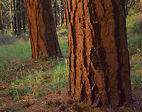 Deschutes National Forest, OR: Ponderosa pine (Pinus ponderosea) in an old growth grove along the Metolius River