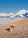 Whitetail doe and the Mission Mountains in western Montana