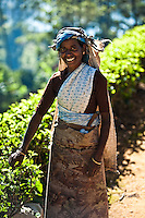 Picking tea is hard work, but is carried out with an elegant grace and dignity. (Photo by Matt Considine - Images of Asia Collection)