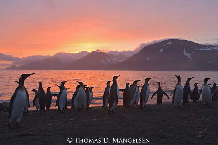 King penguins on a South Georgia beach at Gold Harbour at sunrise.