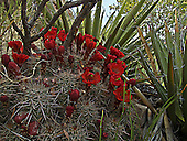 Scarlet Hedgehog Cactus hidden within a nook of yucca.