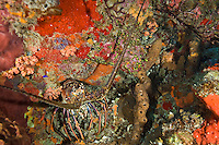 Underwater scenic with lobster at Seamount, St. Croix, US Virgin Islands