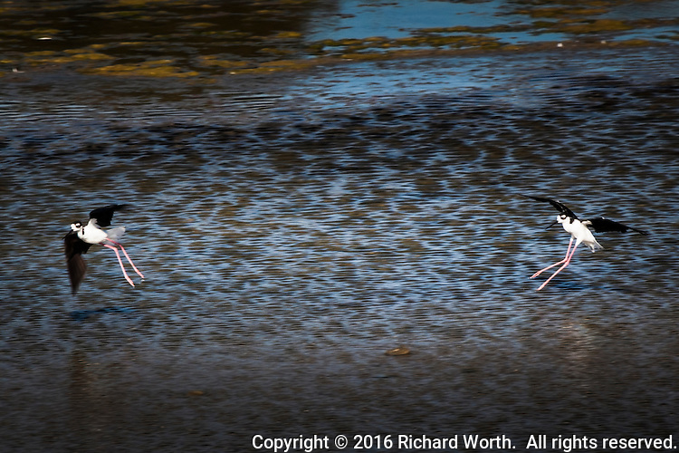 Two Black-necked stilts in mid-air, wings spread, on a trail along San Francisco Bay's eastern shore.