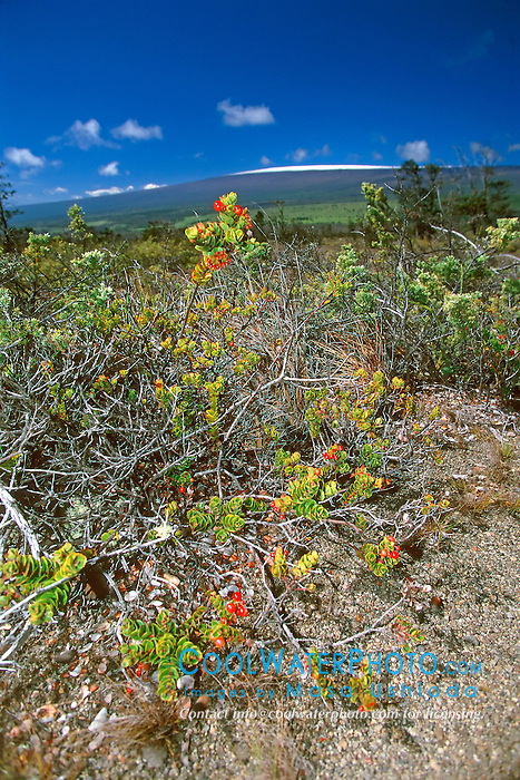 alpine berry, `Ohelo, Vaccinium reticulatum, Mauna Loa volcanic mountain with snow on summit in background, Hawaii Volcanoes National Park, Kilauea, Big Island, Hawaii