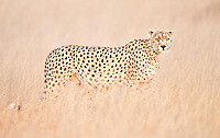 Cheetah standing alertly in tall dry grass in soft morning light in Kenya, Africa (photo by Wildlife Photographer Matt Considine)