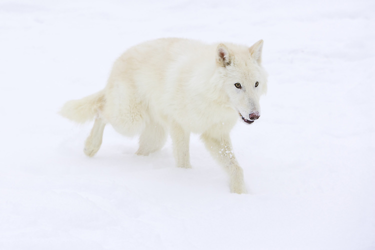 Arctic Wolf walking through the snow - CA