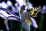 Swallowtail (Papilio machaon) - butterfly on iris, in UK only inhabits fenlands of Norfolk, backlight, soft purple colours.United Kingdom....