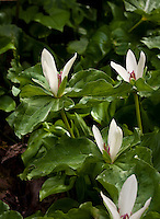 White flower Wake Robin (Trillium chloropetalum) spring bulb wildflower in East Bay Regional Park Botanic Garden, California native plant