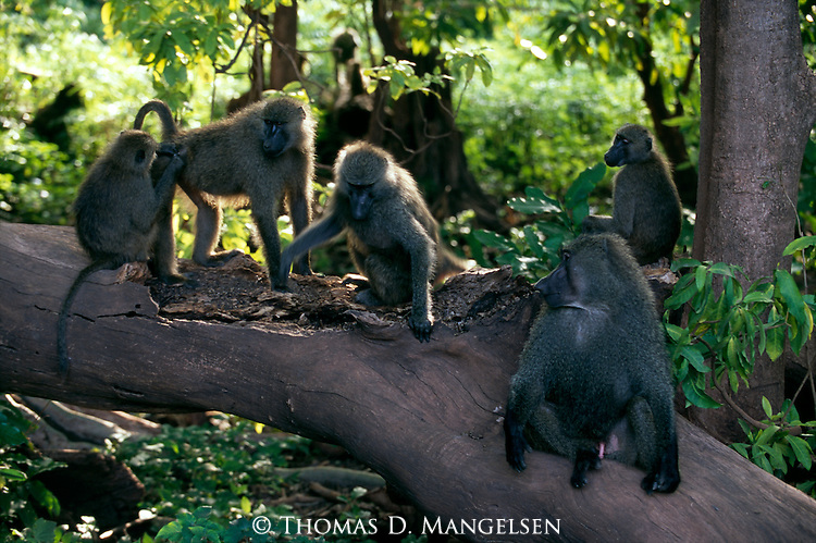 A group of baboons sit on fallen tree.
