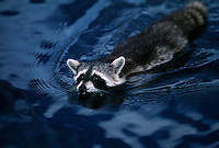 A raccoon swims across the blue waters of the St. Marys River. <br />
