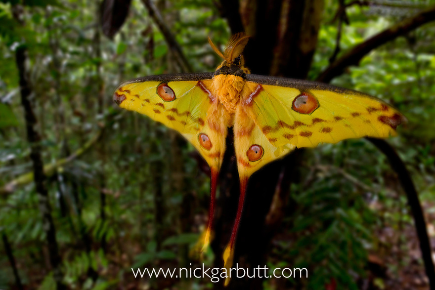 Male Comet Moth (Argema mittrei) shortly after emergence from its coccoon. Understorey of mid-altitude montane rainforest, Andasibe-Mantadia National Park, eastern Madagascar.