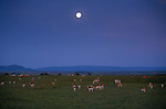 The full moon rises above the Kenyan savannah as the post-sunset glow illuminates the grazing Thomson's gazells and Burchell's zebras. Twilight is an especially dangerous time for grazing animals as the diminishing light further conceals camouflaged leopards and cheetahs- their primary predators.