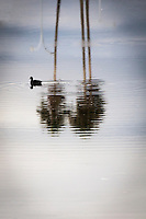 A lone black bird, an American coot, creates ripples on  water reflecting palm trees, clouds and a bit of blue in the San Leandro Marina.