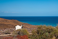 Fuerteventura is known for the amount of goats. Actually there are more goats than people on the island, and the cheese industry is booming. Many of the goats roam free in the mountains, like this one on a mountain extending to the ocean.